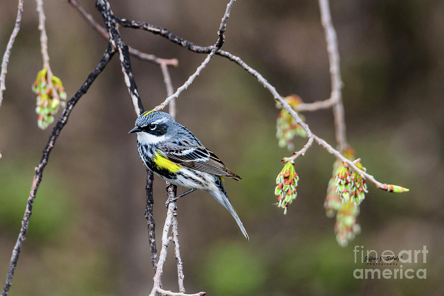 Yellow-rumped Warbler - 3 by Jeffrey Schulz