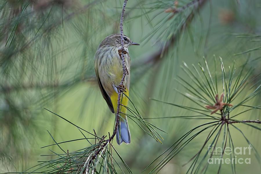 Yellow Rumped Warbler by Deborah Benoit