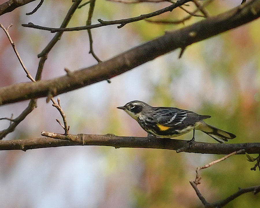 Yellow Rumped Warbler by Hershey Art Images