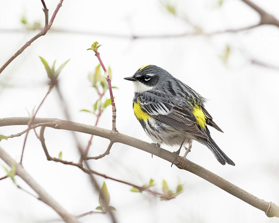 Yellow-Rumped Warbler by Jim Zablotny