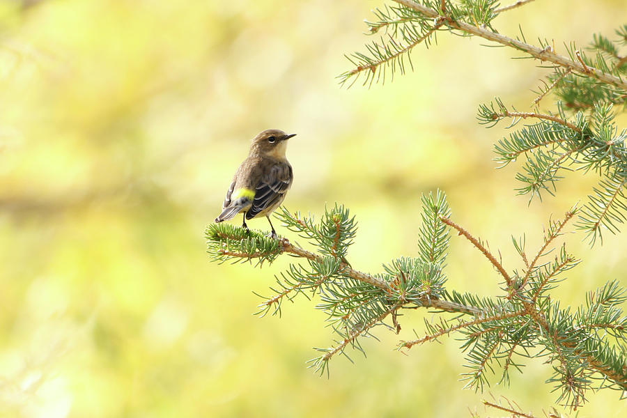 Yellow-rumped Warbler by Ryan Crouse