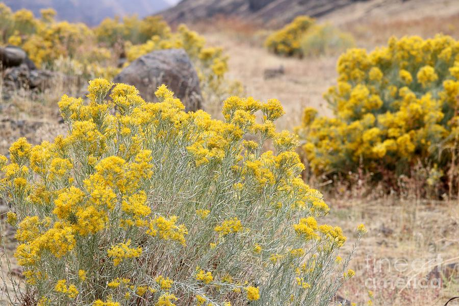 Yellow Rabbitbrush in Autumn Canyon by Carol Groenen