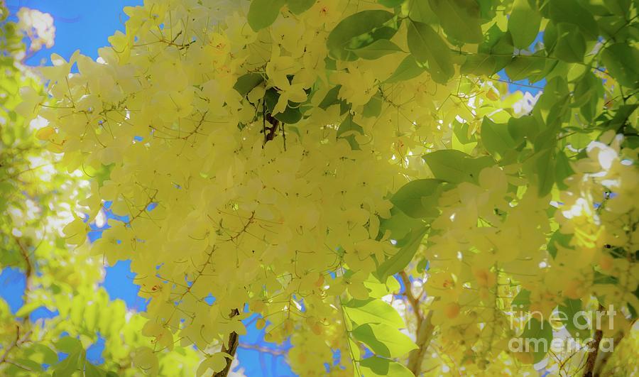 Tropical Photograph - Yellow Shower Tree Flowers - Hawaii by D Davila