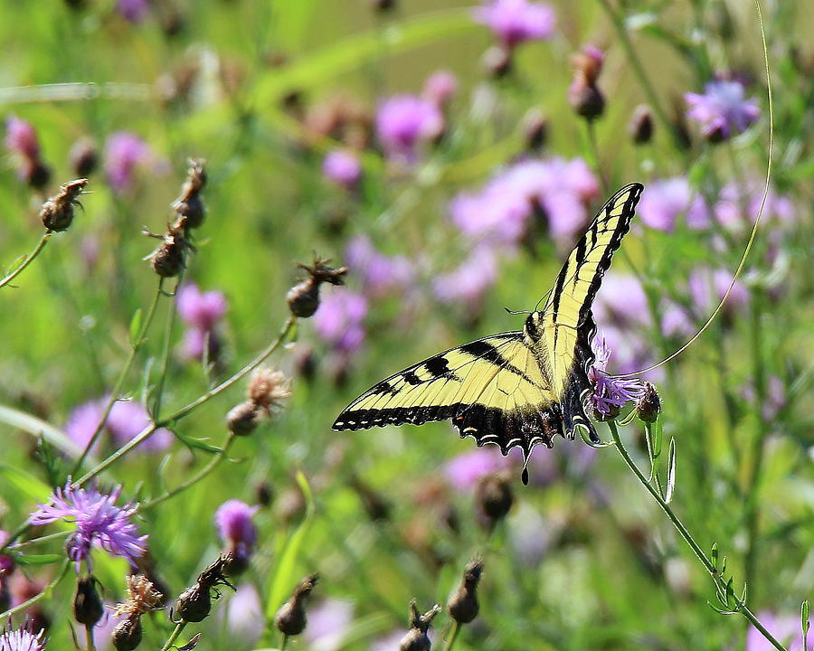 Yellow Splash in Violet Field by Arvin Miner