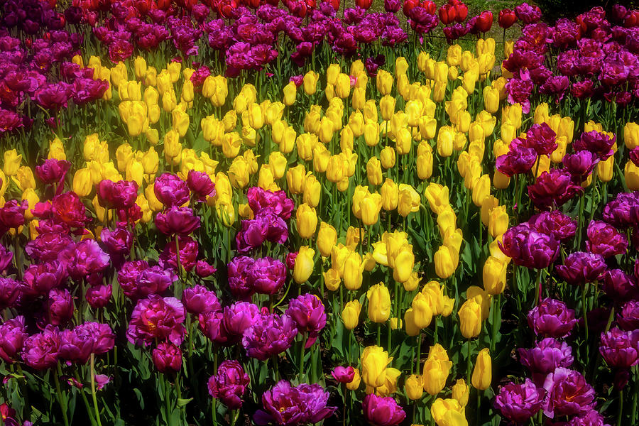 Tulip Photograph - Yellow Star Tulips by Garry Gay