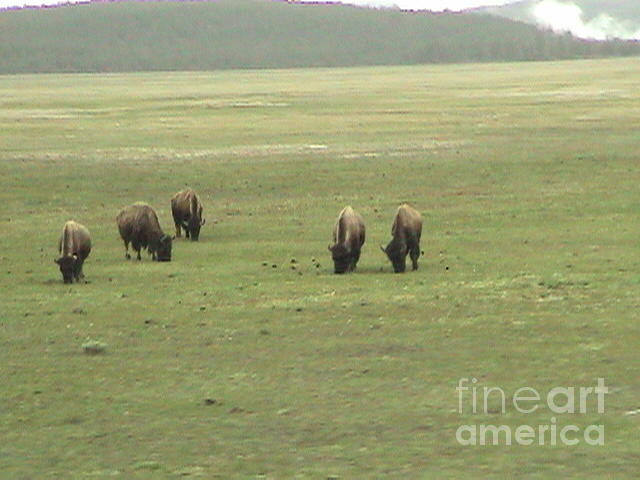 Yellow Stone National Bisons Bison in Green Pasture by John Shiron