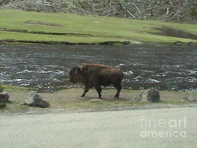 Yellow Stone National Park Bison River Runs Thru It Majestic Landscape Vintage Look 2004 by John Shiron