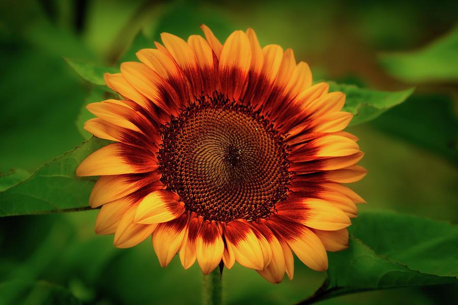 Yellow Sunflower #2 by Allin Sorenson