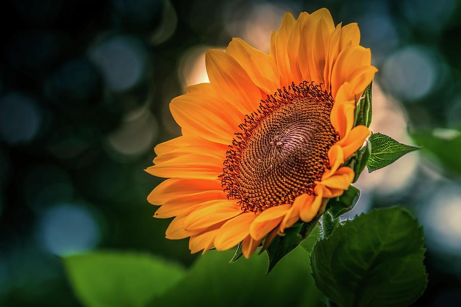 Yellow Sunflower #3 by Allin Sorenson