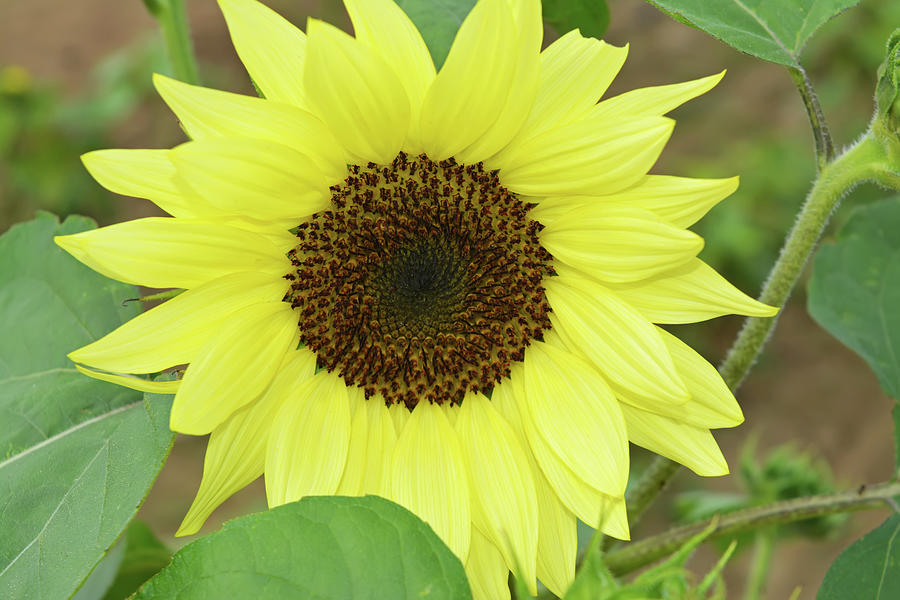 Yellow Sunflower by Aimee L Maher ALM GALLERY