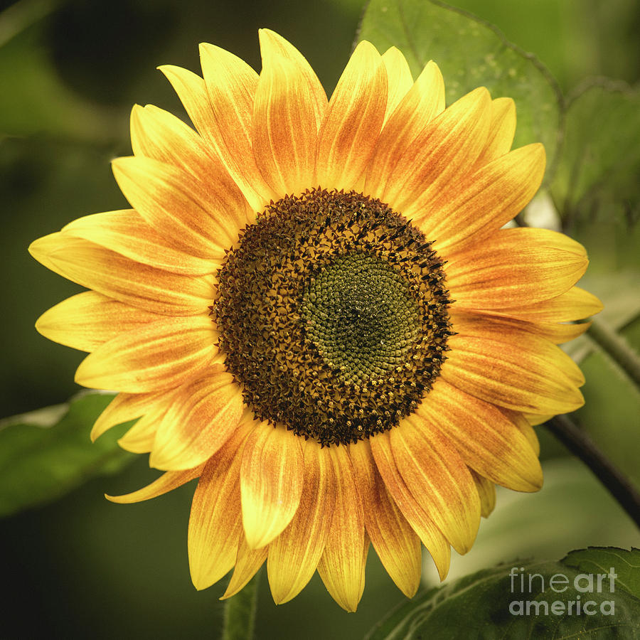 Yellow Sunflower by Alana Ranney