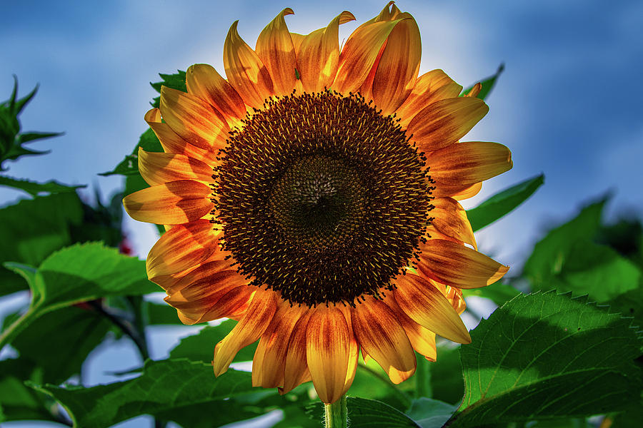 Yellow Sunflower by Allin Sorenson