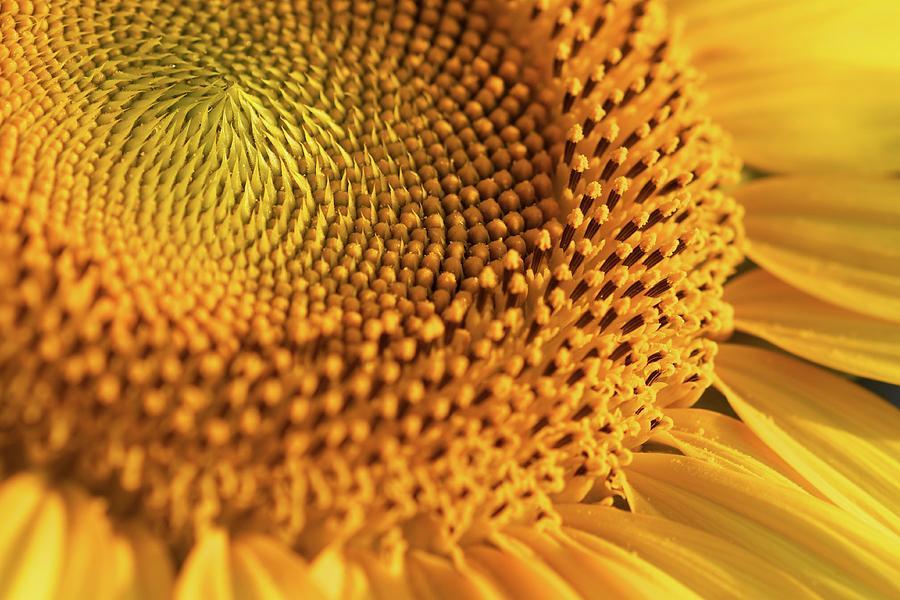 Yellow Sunflower Photograph by Jasohill Photography