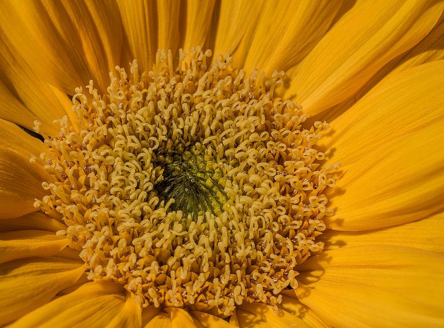 Yellow Sunflower Macro by Keith Smith