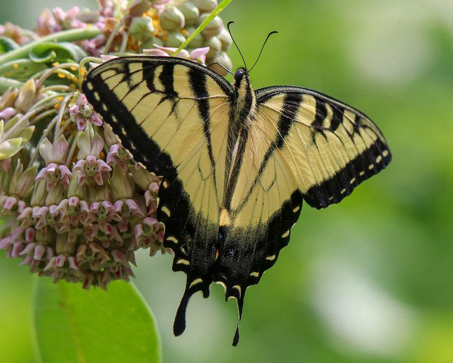 Yellow Swallowtail Butterfly by Susan Rydberg