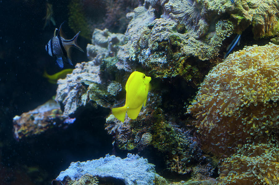 yellow tang 1 by Chris Flees