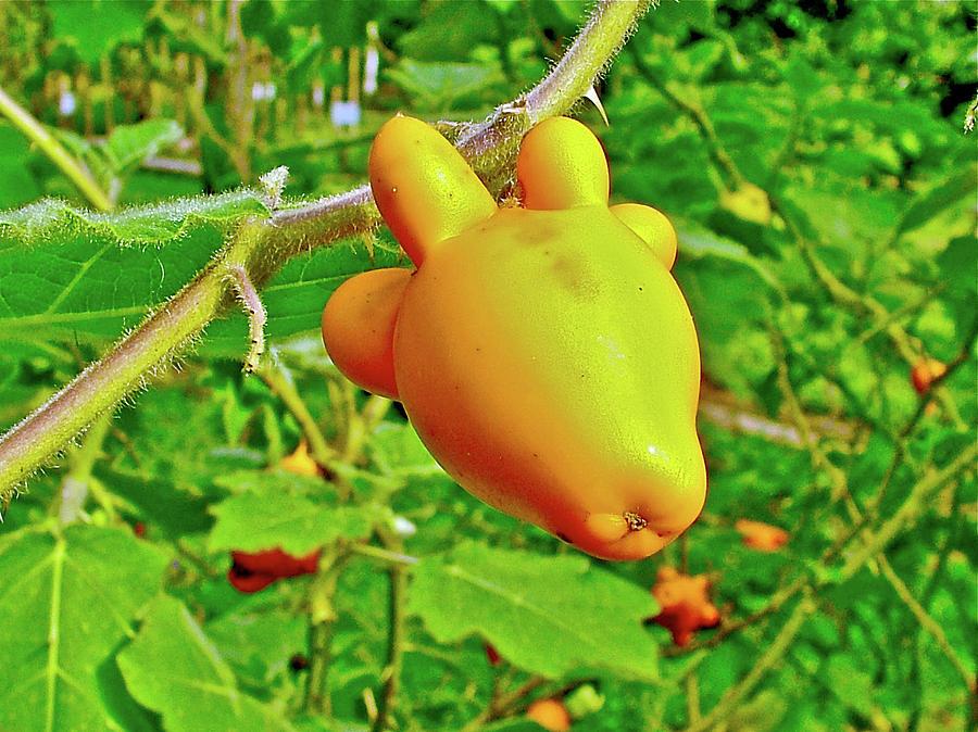 Peru Photograph - Yellow Tomato In The Amazon Jungle, Peru by Ruth Hager