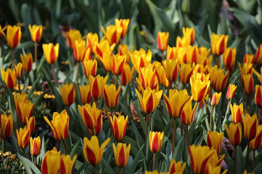 Tulip Pyrography - Yellow Tulip by Alina Avanesian