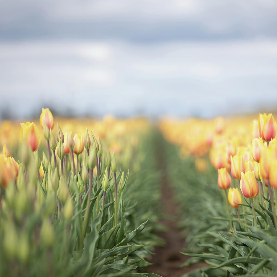 Yellow Tulip Field 1 by Rebecca Cozart