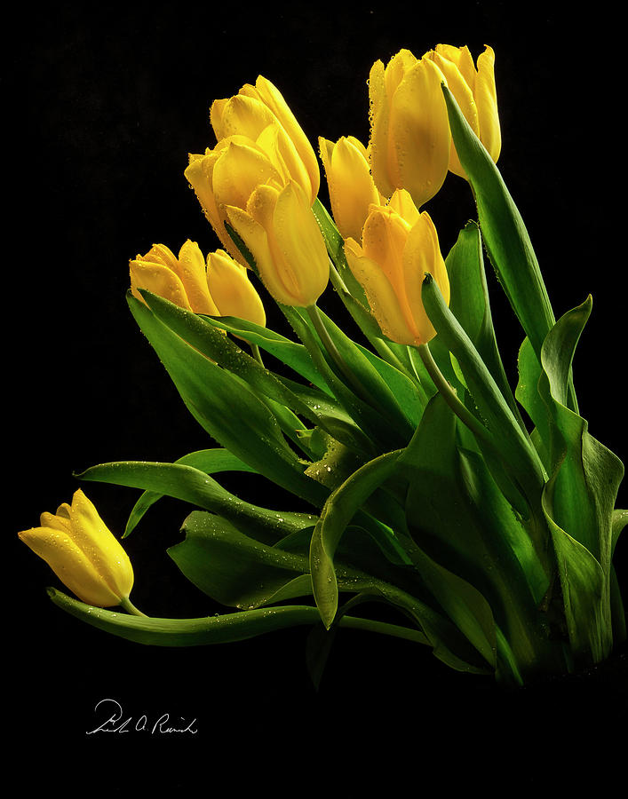 Yellow Tulips by Frederic A Reinecke