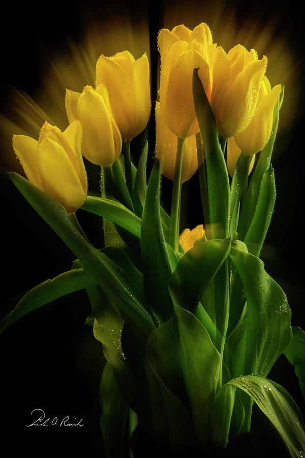 Yellow Tulips in the Wind by Frederic A Reinecke