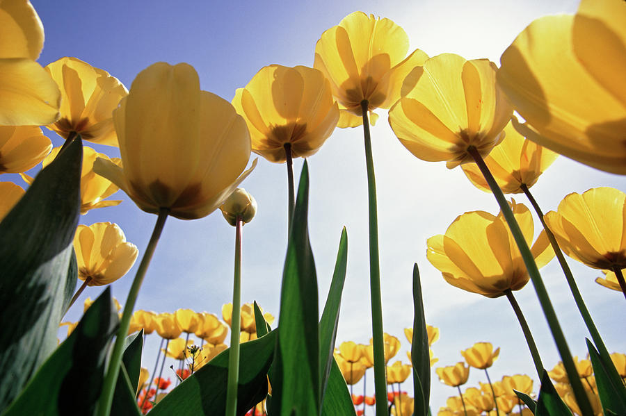 Yellow Tulips Photograph by Steve Satushek