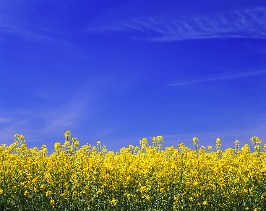 Yellow Vegetation Beneath Blue Sky Of Photograph by Pierre Rosberg