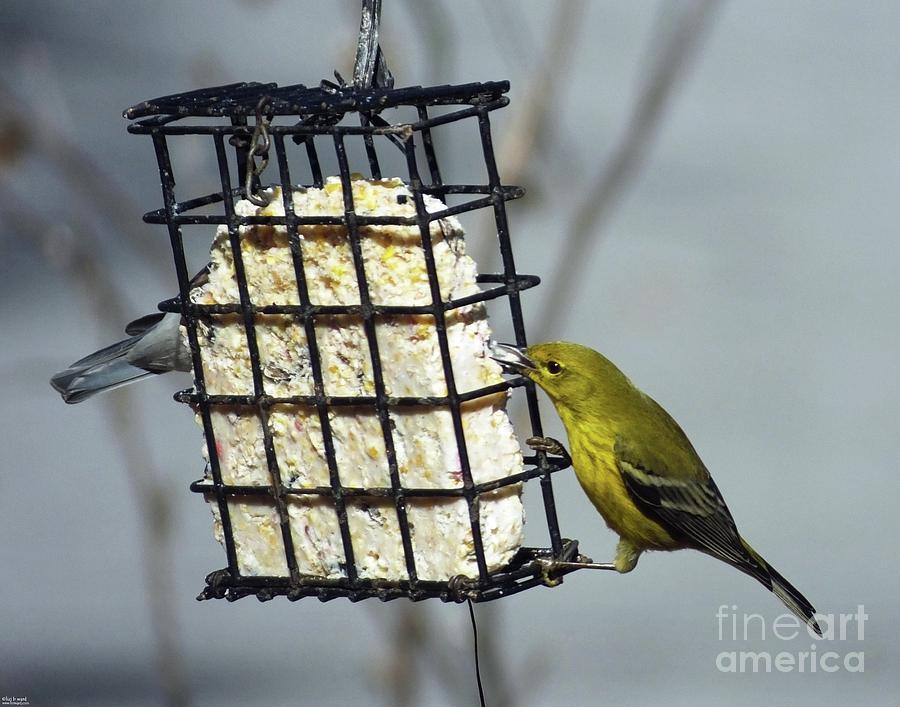 Yellow Warbler 20  Male by Lizi Beard-Ward