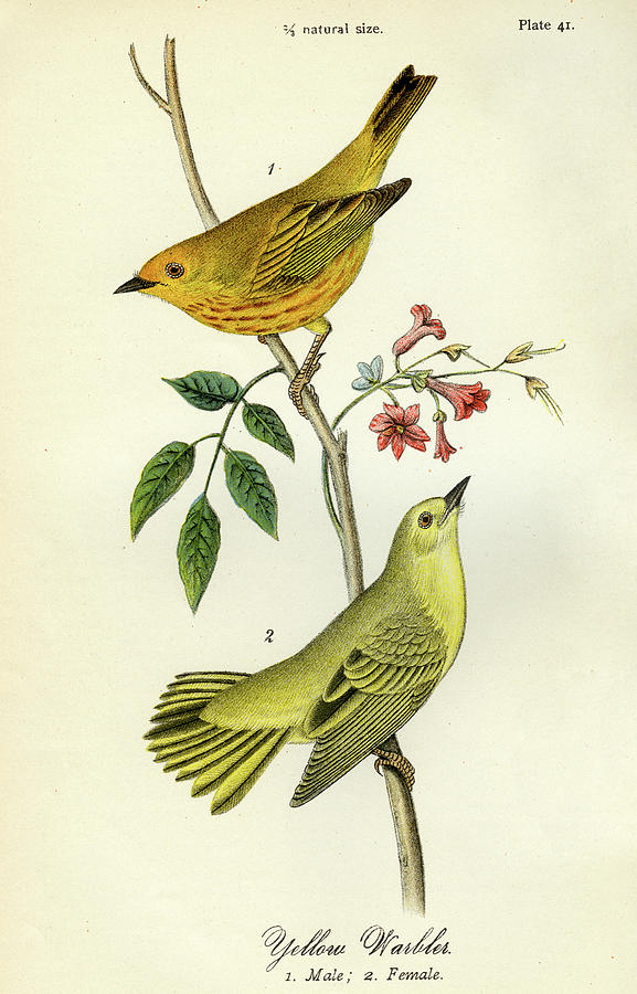 Yellow Warbler by unknown