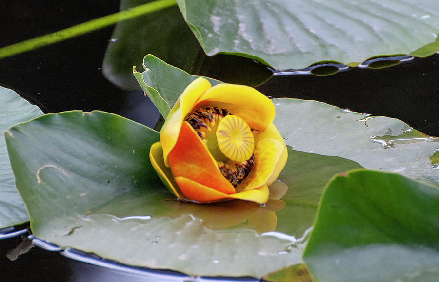 Yellow water lily by Gene Bollig