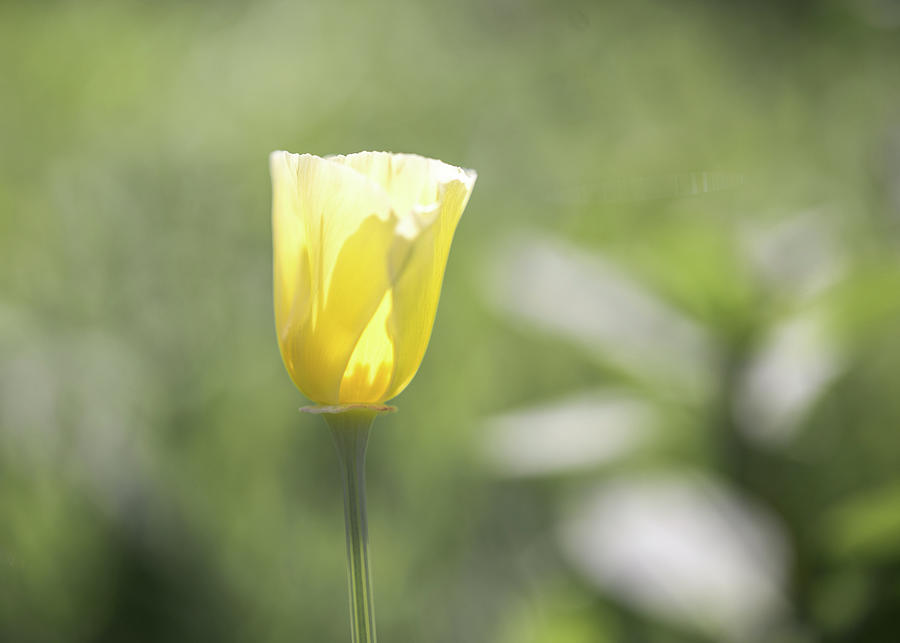 Yellow Wildflower by Johanna Froese
