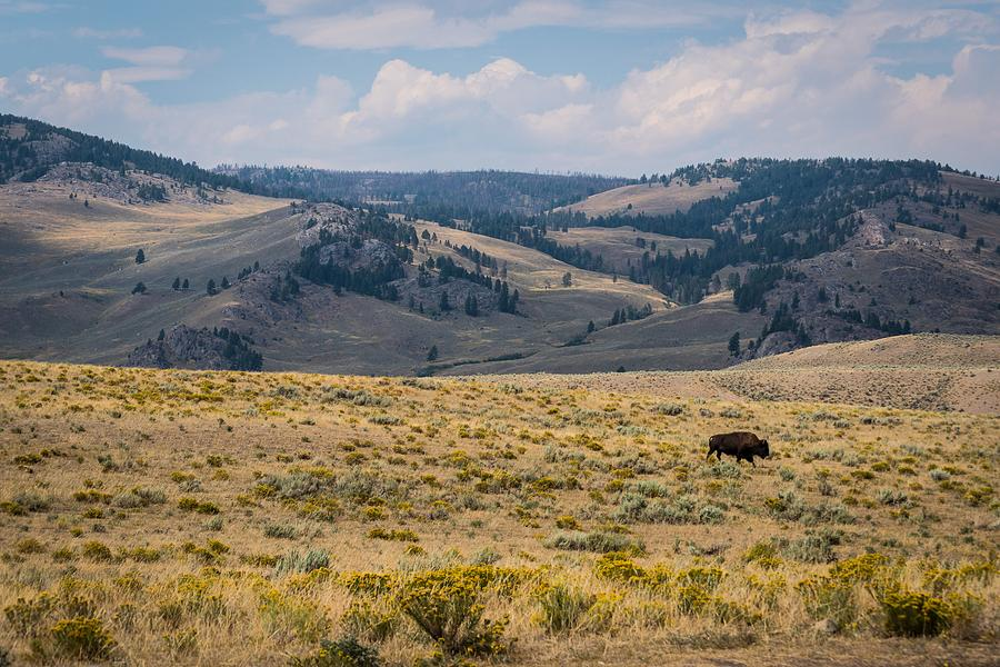 Yellowstone Bison by Michelle McConnell