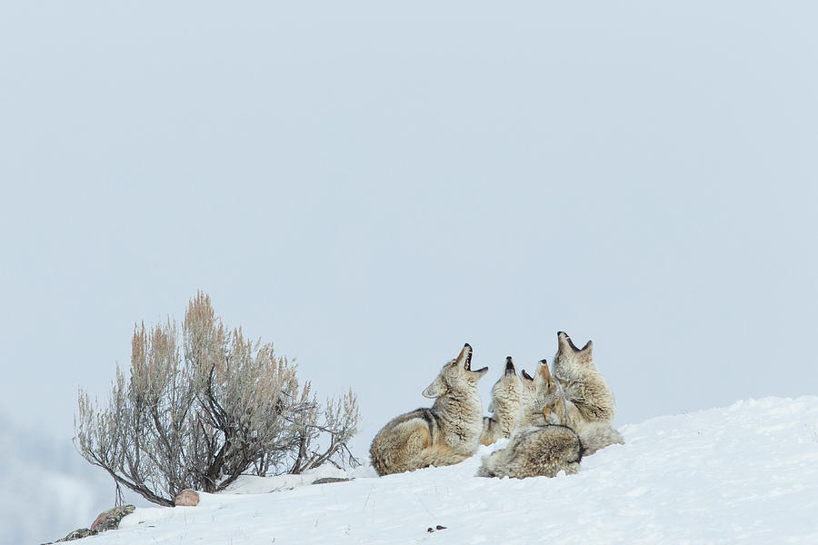 Yellowstone Coyote Pack Howling Photograph by Sebastian Kennerknecht