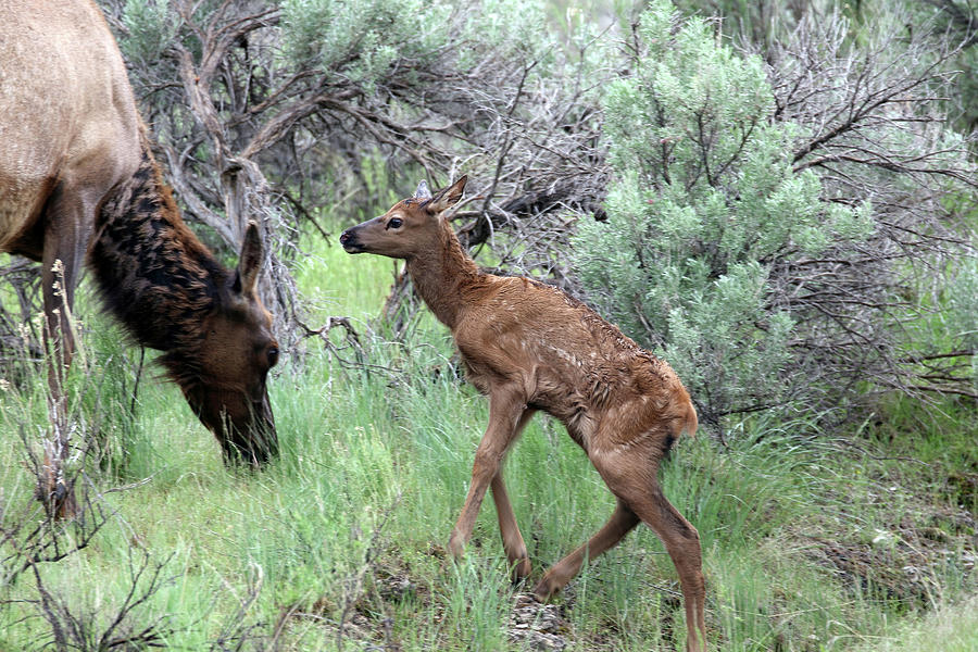 Elk Photograph - Yellowstone Elk Calf And Cow by Jean Clark