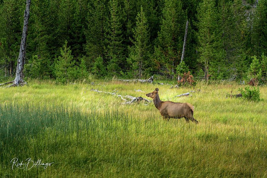 Yellowstone Elk by Rick Billings