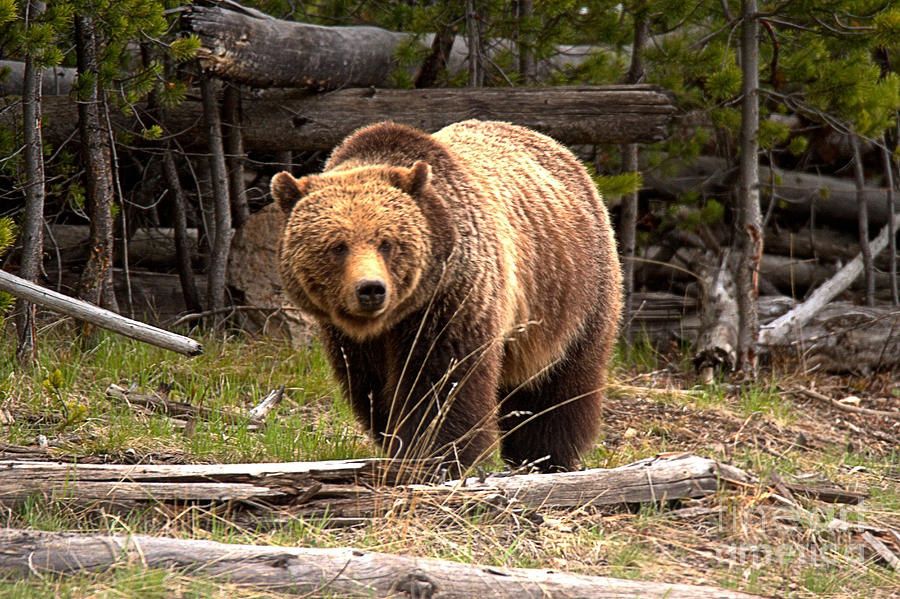 Yellowstone Grizzly Among The Logs by Adam Jewell