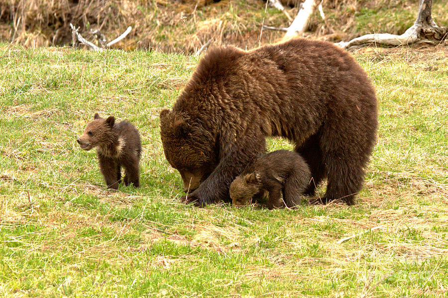 Yellowstone Grizzly Bear Triplets by Adam Jewell
