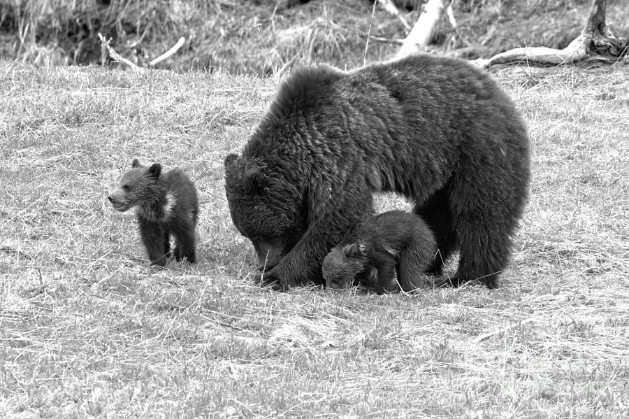 Yellowstone Grizzly Bear Triplets Black And White by Adam Jewell