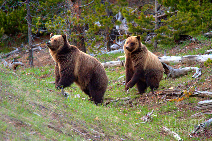 Yellowstone Grizzly Snow And Her Cub by Adam Jewell