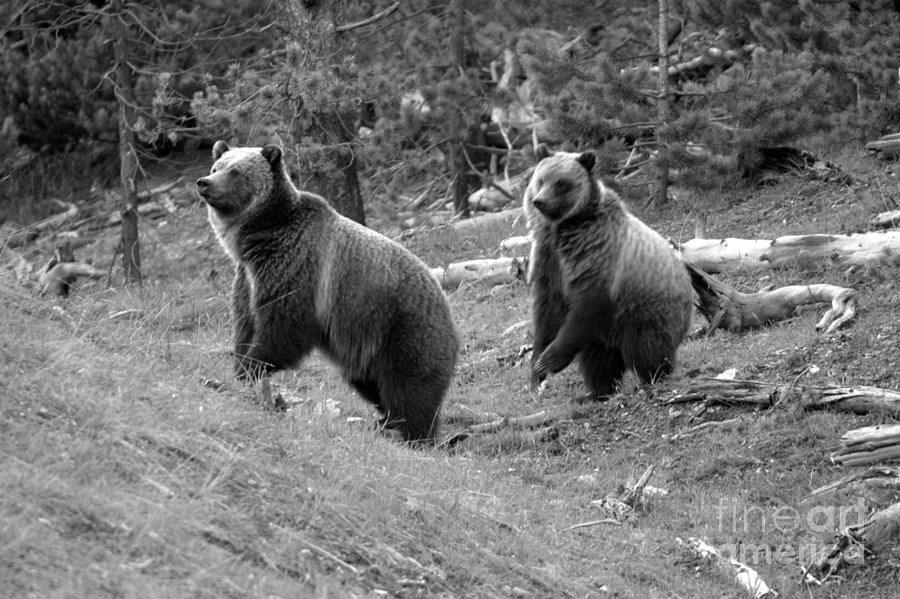 Yellowstone Grizzly Snow And Her Cub Black And White by Adam Jewell