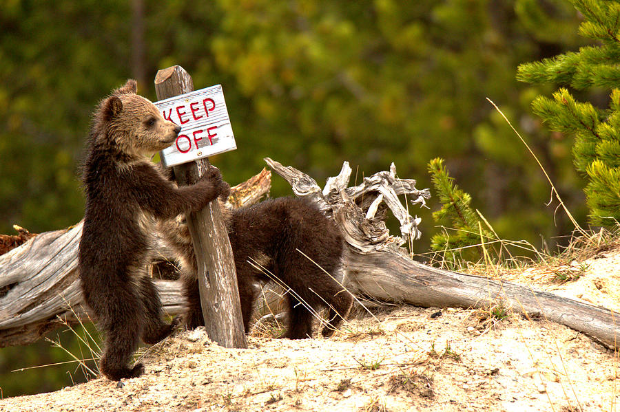 Yellowstone Grizzly Vandals by Adam Jewell