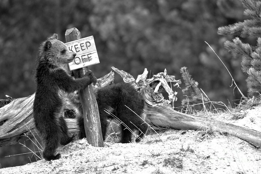 Yellowstone Grizzly Vandals Black And White by Adam Jewell
