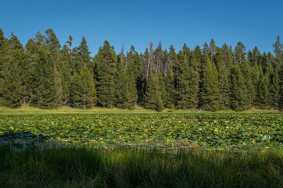 Yellowstone Lilypad Lake by Michelle McConnell