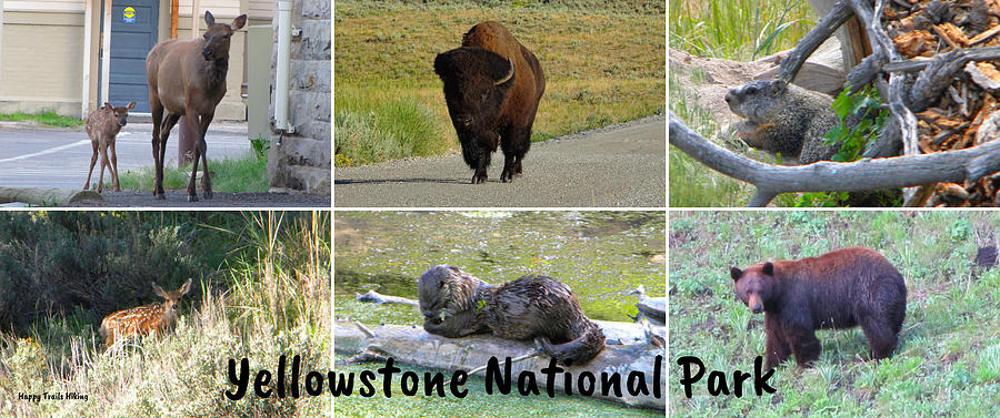 Yellowstone National Park Wildlife