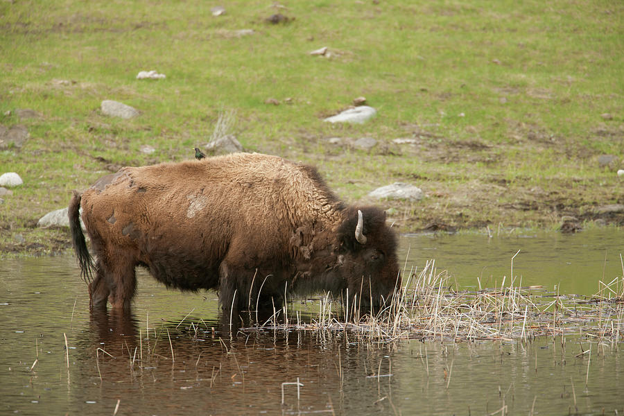 Burrow Photograph - Yellowstone Np, Wyoming Uinta Ground by Janet Horton