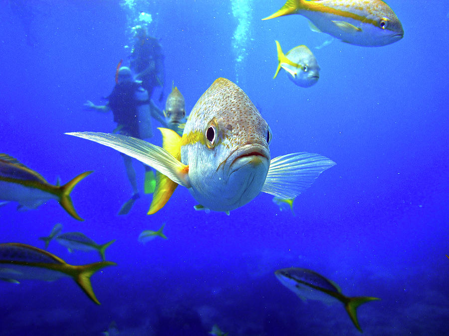 Yellowtail Snapper Photograph - Yellowtails by Climate Change VI - Sales