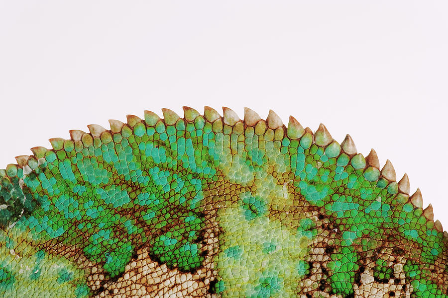 Yemen Chameleon, Close-up Of Skin Photograph by Martin Harvey
