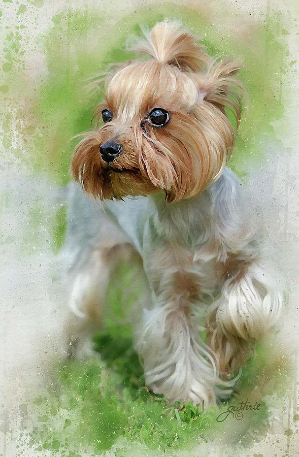 Yorkie Yorkshire Terrier Painting By John Guthrie