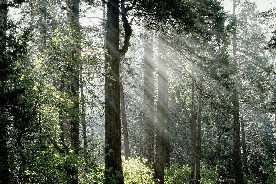Yosemite Photograph - Yosemite Forest Light by Donna Kennedy