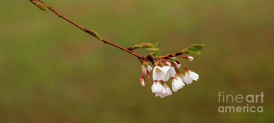 Yoshino Cherry Blossoms Photograph